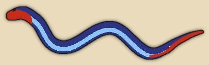 Banded Malaysian Coral Snake
